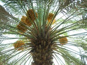 Финики на пальме